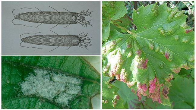 Народные методы борьбы с виноградными вредителями