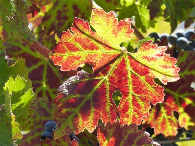 Описание и фото краснухи винограда
