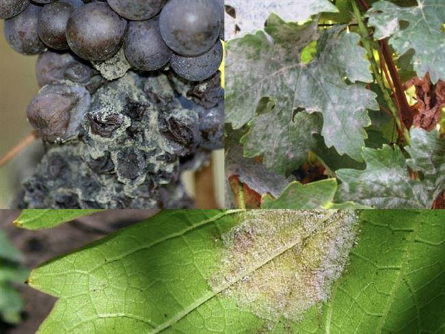 Что такое комплексно устойчивые сорта винограда