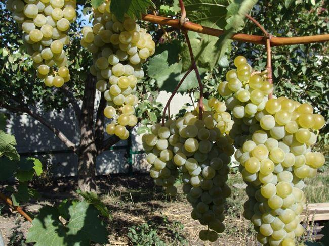 Последующий уход за виноградом