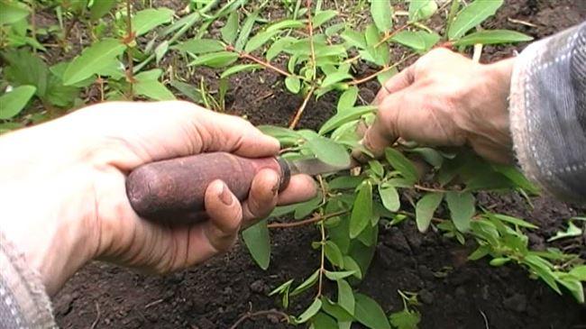 Как размножить жимолость делением куста