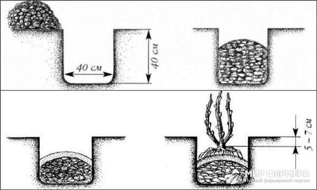 Пошаговая инструкция по посадке и расстояние между кустами