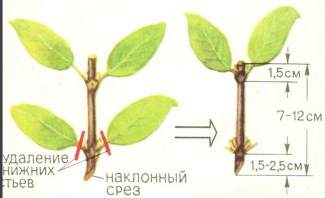 Процесс размножения отводками