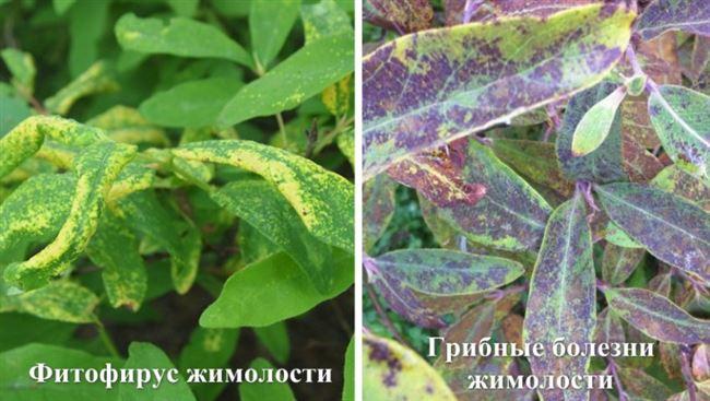 Вирусные болезни и вредители съедобной жимолости