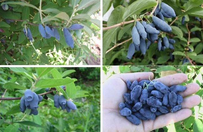 Внешний вид, характеристика ягод, время созревания, урожайность