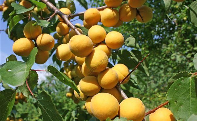 Абрикос Десертный: описание сорта, особенности выращивания, отзывы