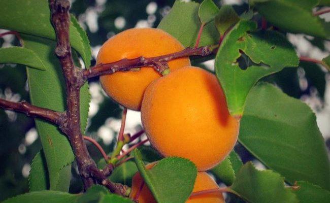 Абрикос Эрли Ред Оранж — описание сорта и отзывы с фото