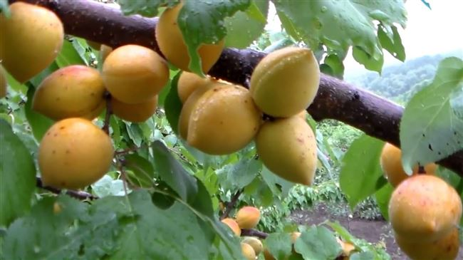 Абрикос «Манитоба»: особенности выращивания