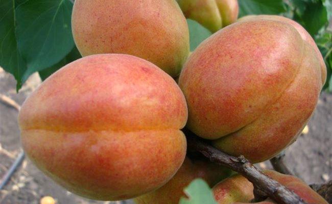 Абрикос сорта Краснощёкий: урожайный и сладкий