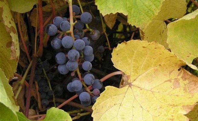 Амурский виноград, идеальная лиана для любых участков