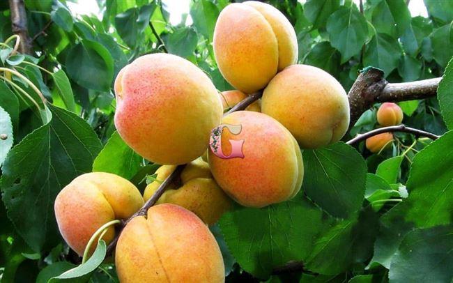 Болезни абрикоса и методы борьбы с ними — таблица