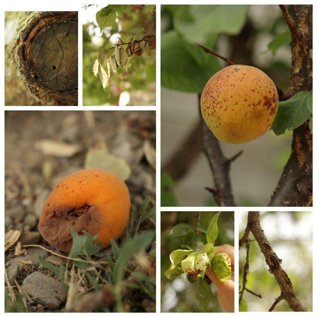 Болезни и вредители абрикоса и борьба с ними