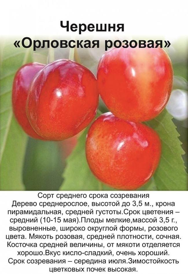 Болезни и вредители черешни Орловская розовая