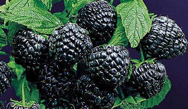 Болезни и вредители чёрной малины Кумберленд