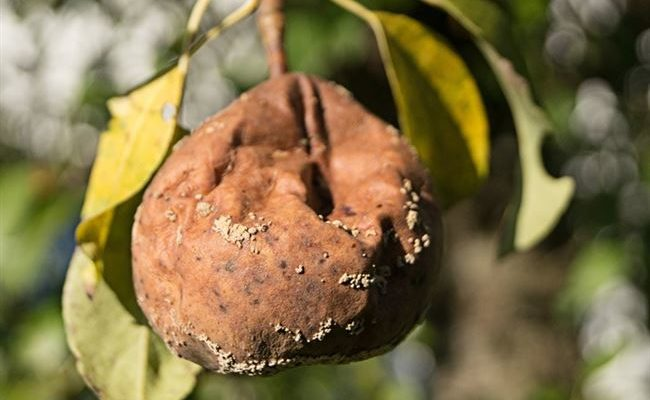 Болезни плодов груши