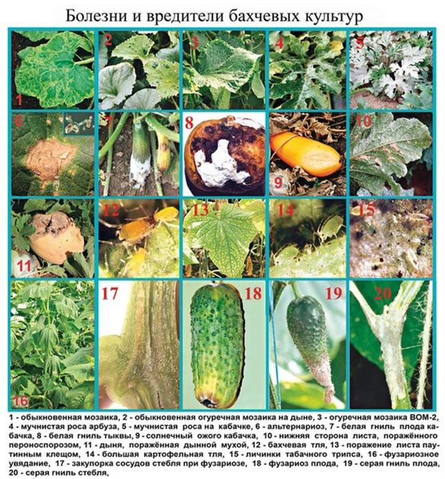 Борьба с болезнями и вредителями растения