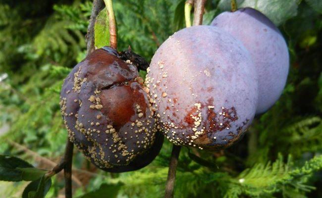 Боремся с плодовой гнилью на сливе