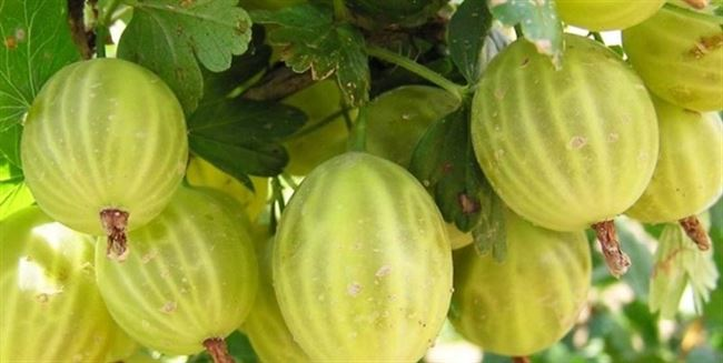 Чем хорош сорт крыжовника Балтийский и почему его стоит выращивать
