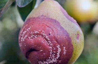 Чем обработать грушу от плодовой гнили весной. Проверенные средства