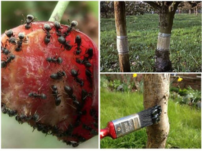 Чем опрыскать колоновидные яблони от тли и муравьев