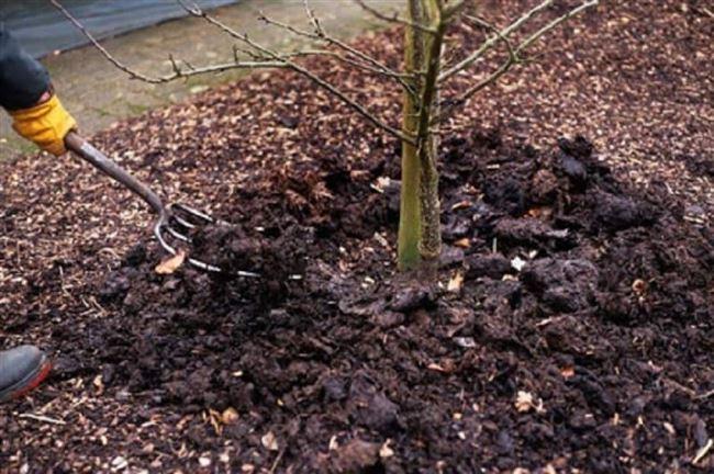 Чем удобрять сливу для увеличения урожая (советы опытных садоводов)
