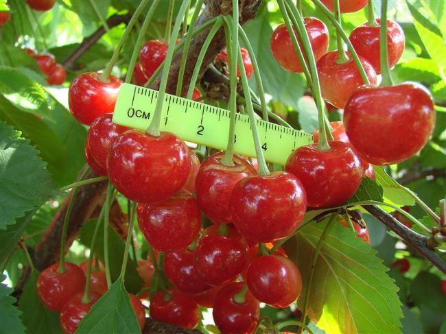 Черешня Фатеж – описание сорта, фото, отзывы садоводов