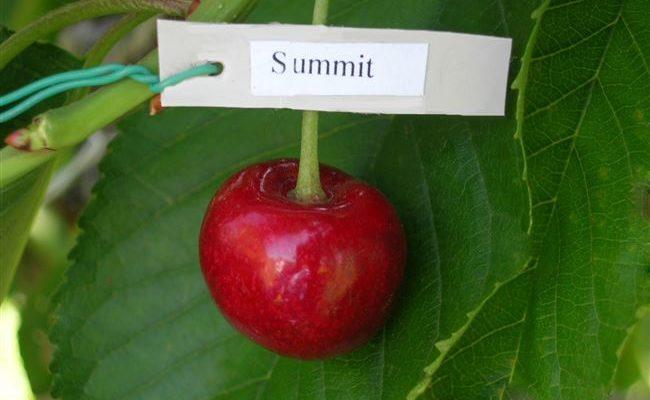 Черешня Саммит