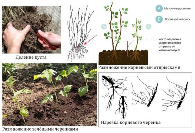 Черная малина размножение семенами. Описание и характеристики культуры