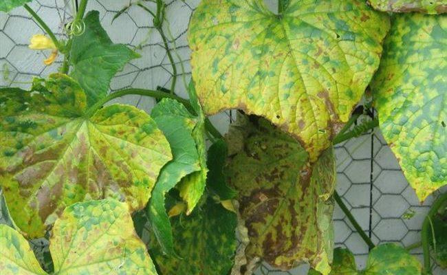 Что делать, если на листьях огурцов ржавые пятна