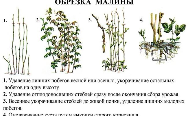 Что делать при загущении малины? Как правильно проредить малину и как ухаживать за ней летом!