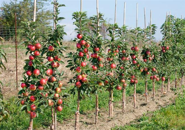 Что посадить рядом с колоновидной яблоней