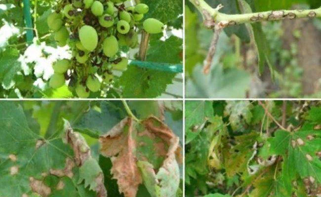 Что такое антракноз винограда и чем лечить болезнь?
