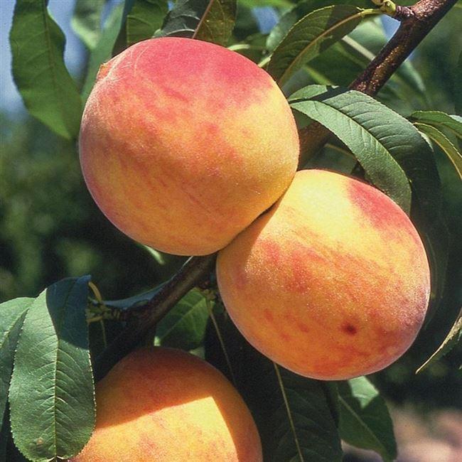 Достоинства и недостатки персика Золотой юбилей — таблица