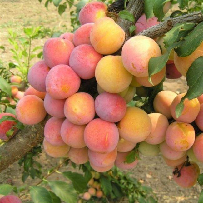 Достоинства и недостатки скороплодного дерева