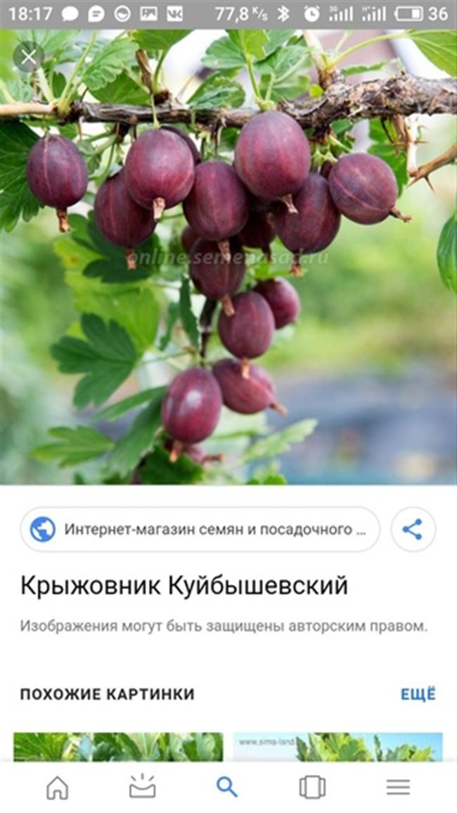 Достоинства и недостатки сорта черноплодного крыжовника