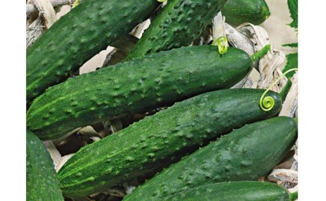 сорта огурцов для пермского края в теплице