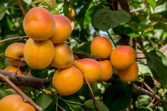 Фотогалерея: вредители, угрожающие абрикосовому дереву