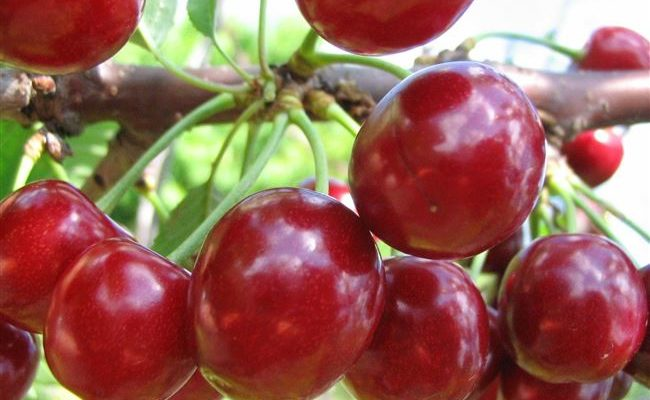 Гибрид вишни и черешни ДЮК, описание, сорт, отзывы. ДЮК вишня черешня. Сорт черевишня описание фото