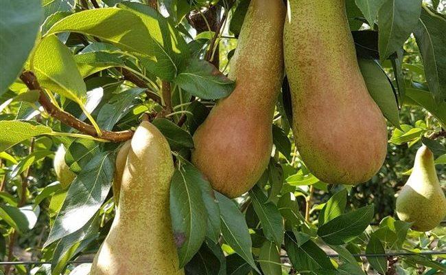 Груша Банановая