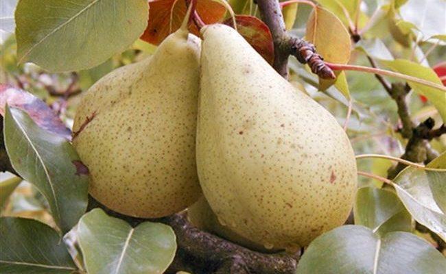 Груша Кюре: посадка, уход и описание плодов