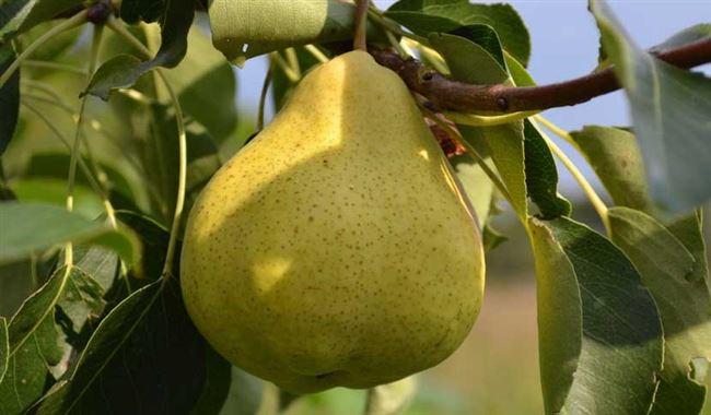 Груша «Пермячка»: характеристика, секреты успешного выращивания