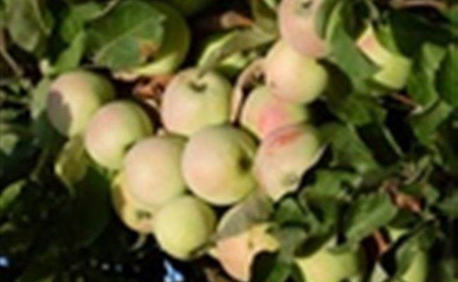 Яблоня Синап — характеристики сорта