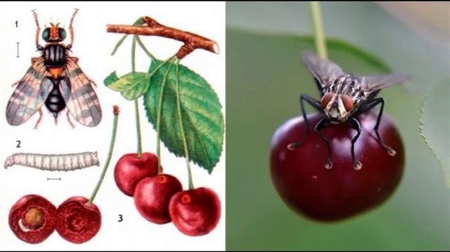 Инсектициды от вишневой мухи