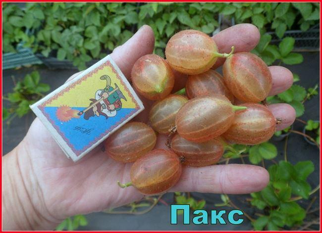 Использование плодов крыжовника сорта Пакс