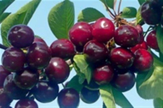 История Гибрида вишни и черешни