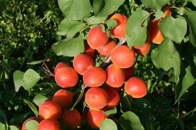 История происхождения абрикоса Цунами