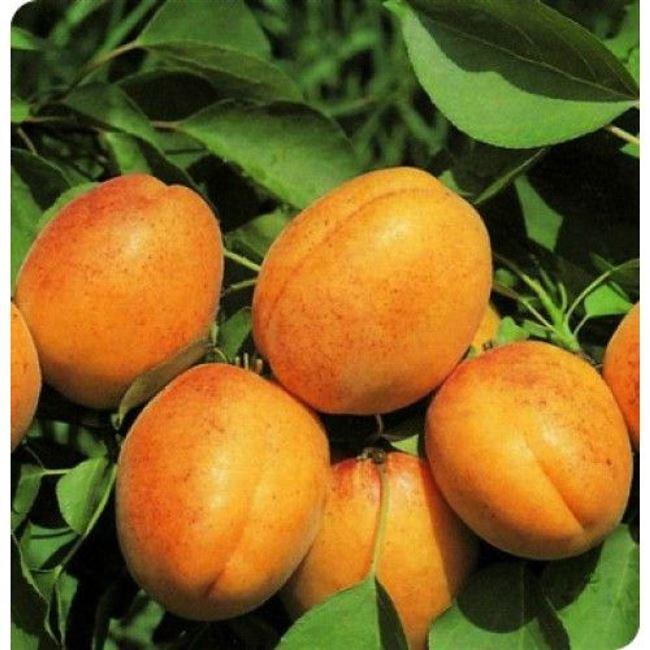 История селекции абрикоса Амур