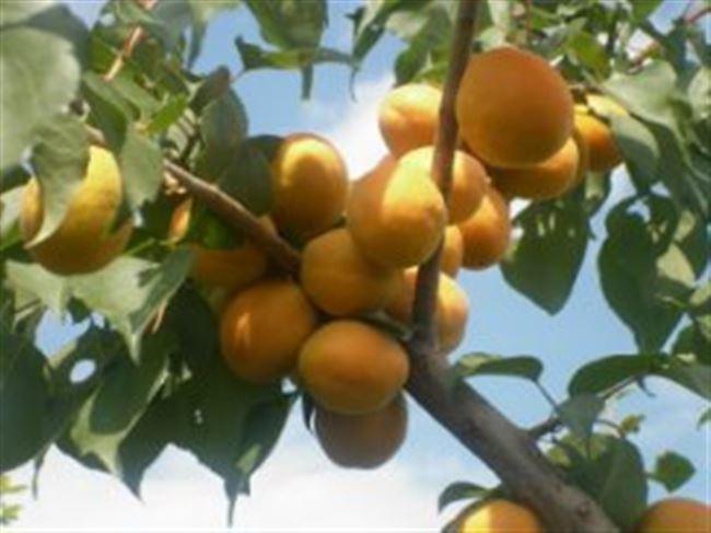 История создания абрикоса Медовый