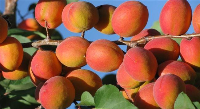 История создания абрикоса Саратовский рубин