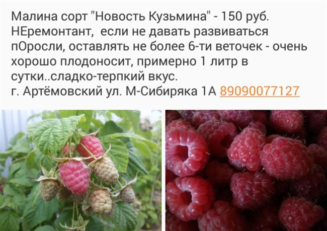 История создания сорта малины Новость Кузьмина